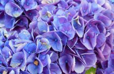 Purple blue hortensia flowers