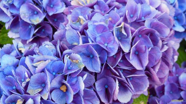 HD wallpaper purple blue hortensia flowers