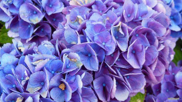 HD wallpaper purple blue hortensia flowers