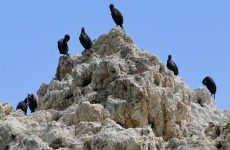 Rock with great black cormorants