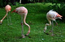 Three flamingoes and grass