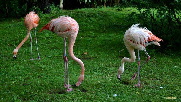 HD wallpaper three flamingos