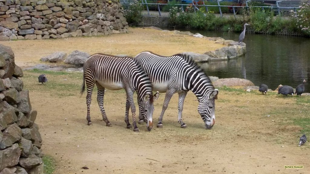 HD wallpaper two zebras in zoo