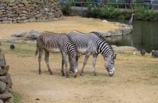 Two zebras in a zoo