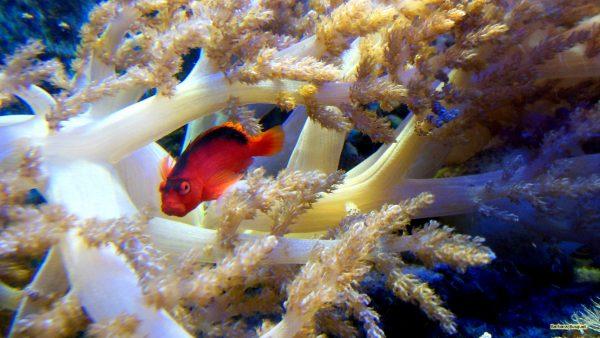 HD wallpaper with red fish in aquarium