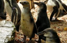 Humboldt Penguin Wallpapers