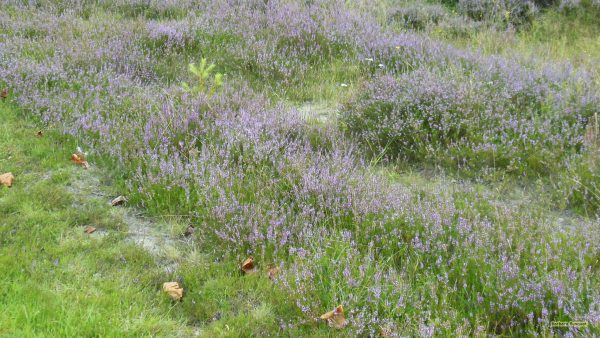 Heathland wallpaper with small purple flowers.