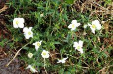 Garden arabis flowers