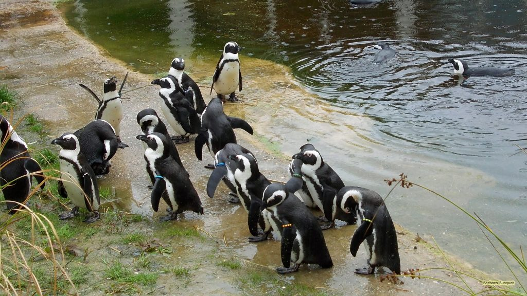Animals wallpaper African penguins in the water