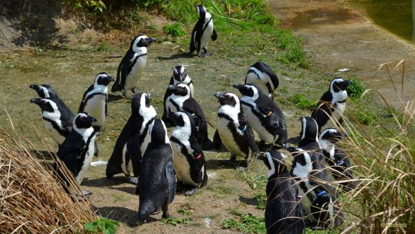 Wallpaper with black-footed penguins
