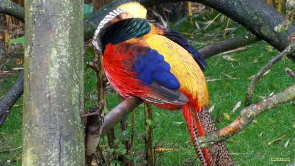 Bird wallpaper Golden pheasant