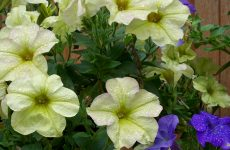 Purple and yellow petunias