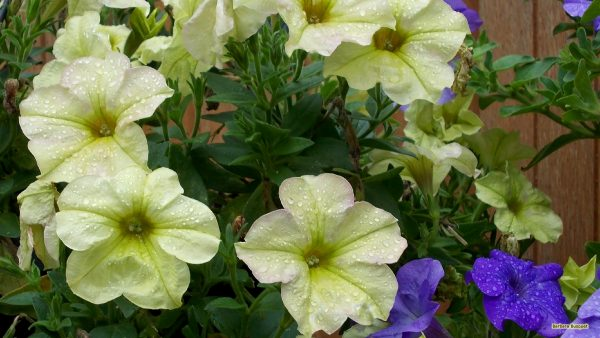 flower-wallpaper-with-purple-and-yellow-petunias