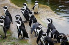 African penguin or black-footed penguin