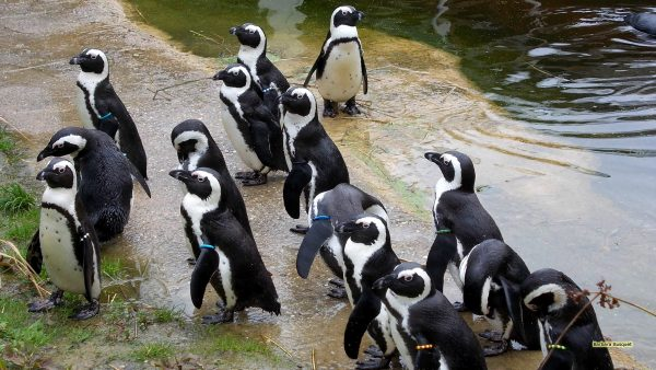 HD wallpaper African penguin or black-footed penguin