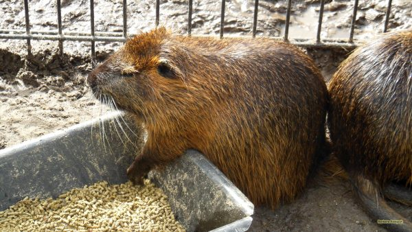HD wallpaper Coypu eating