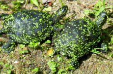 European pond turtles on a rock