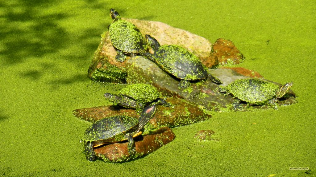 HD wallpaper European pond turtles on a rock