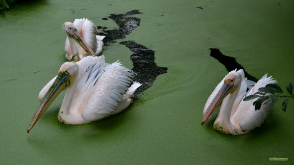 HD wallpaper with great white pelicans swimming