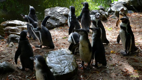 HD wallpaper Humboldt penguins and water