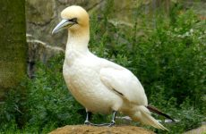 Northern Gannet or Solan Goose