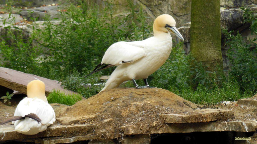 HD wallpaper northern gannet or solan goose.