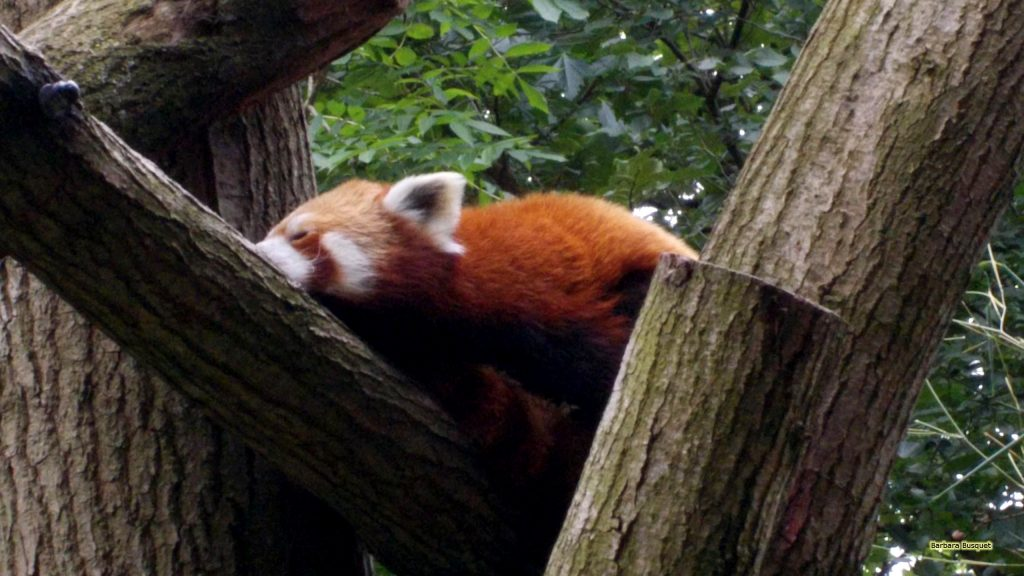 HD wallpaper red panda in a tree.