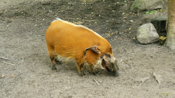 HD wallpaper with red river hog.