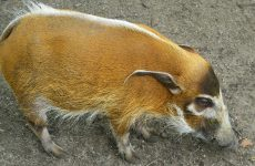 Red river hog wallpaper