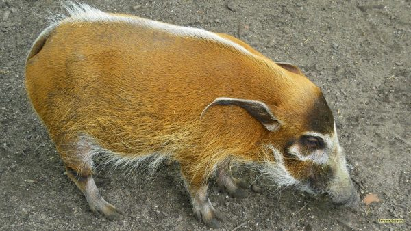 HD wallpaper with a red river hog or bush pig.