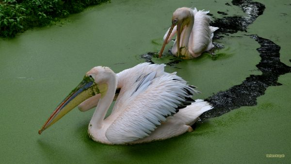 HD wallpaper rosy pelicans or great white pelicans