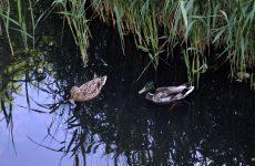 Ducks in a ditch