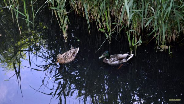 HD wallpaper ducks in a ditch