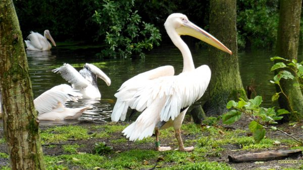 HD wallpaper great white pelicans under the trees