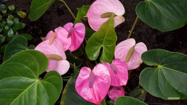 HD wallpaper pink anthuriums.