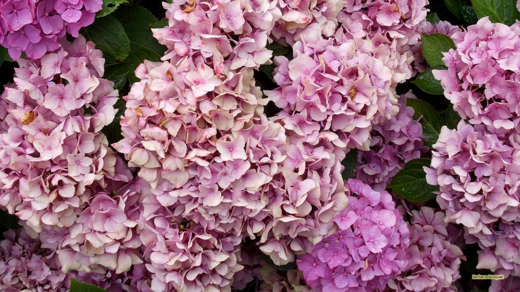 Close-up photo of the flowers of a hortensia.