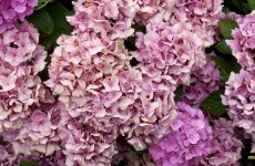Pink hortensia wallpapers