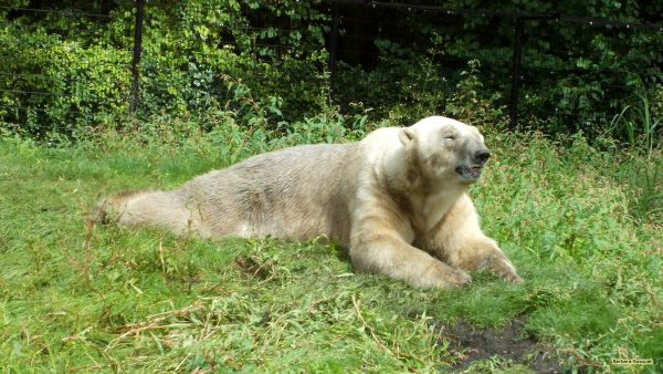 HD wallpaper with a polar bear in the grass.