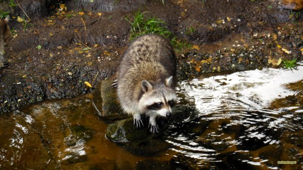 HD wallpaper raccoon on rock at water