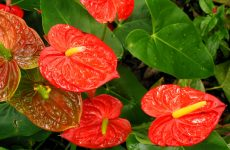Anthurium or Flamingo flower
