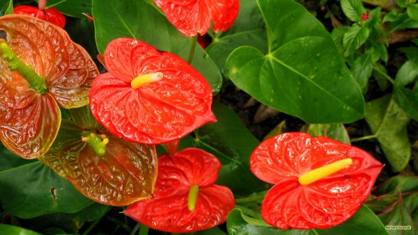 HD wallpaper with a red anthurium.