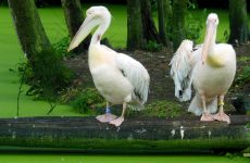 Great white pelican wallpapers