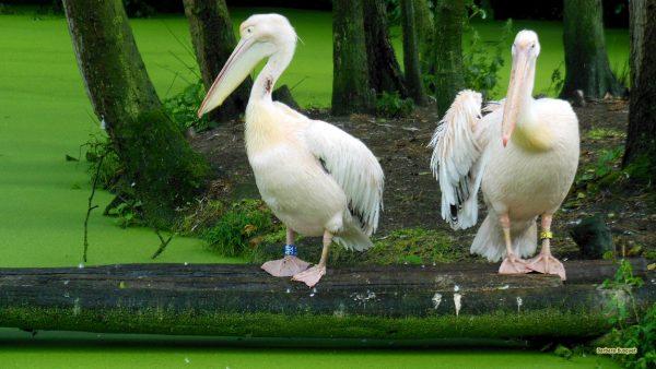 HD wallpaper rosy pelicans