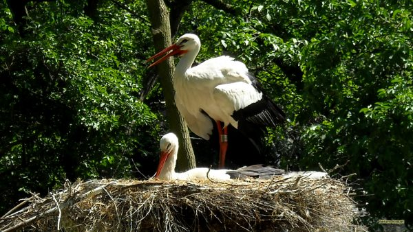 HD wallpaper storks nest