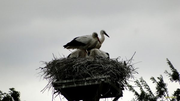 HD wallpaper stork's nest.