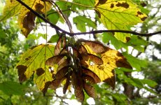 Sycamore maple tree in summer