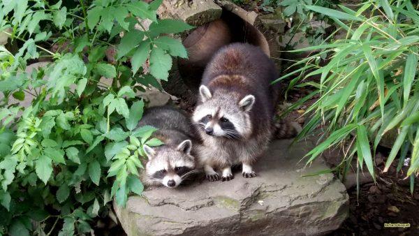 HD wallpaper two raccoons
