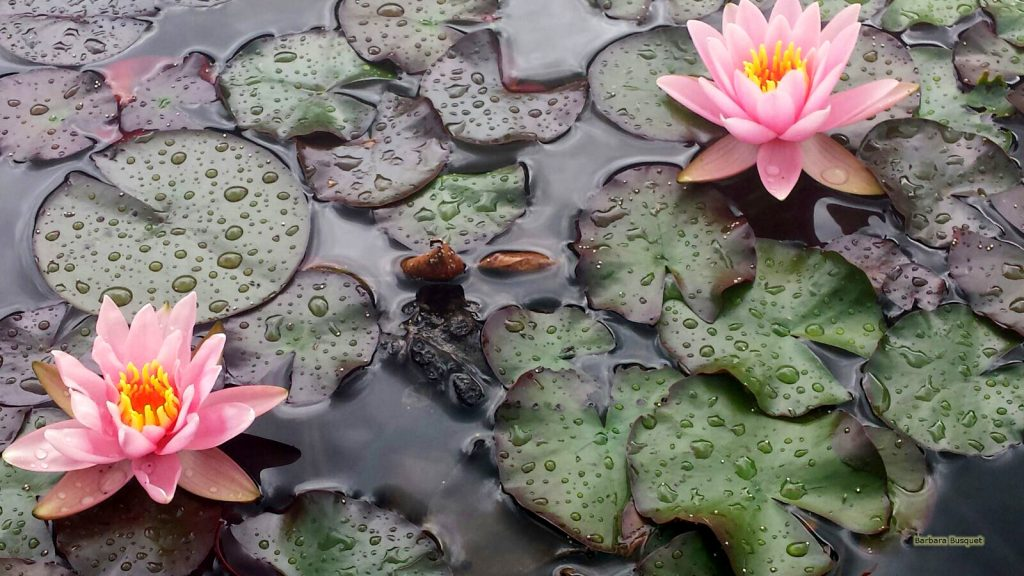 HD wallpaper with water lilies