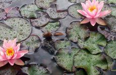 Water lilies or Nymphaeaceae