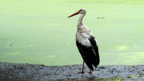 HD wallpaper white stork and duckweed